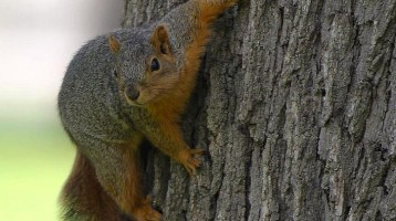 Squirrel Removal Methods For 2018 – 5 Tips