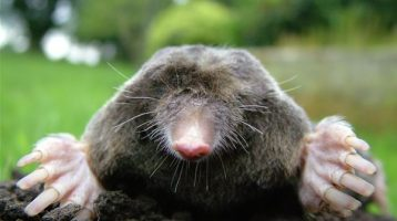 13 Lawn Removal Tips for Moles and Voles – They are Different