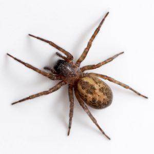 spider pest control exterminator