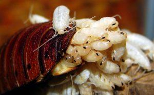 cockroach babies