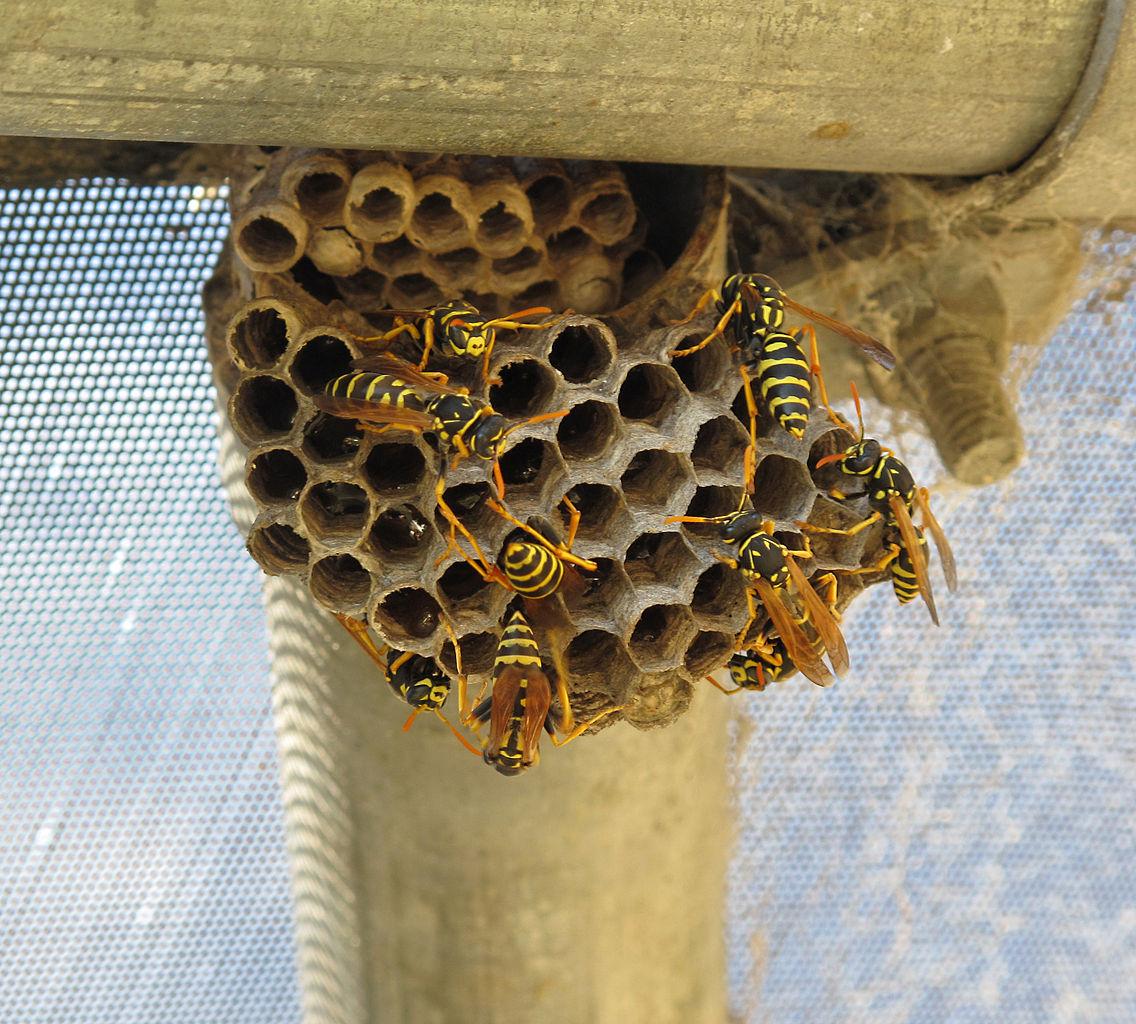 Yellow Jacket Bee Stings