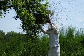 beekeper catching a colony