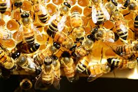 bees in a colony