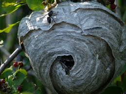 hanging paper wasp nest
