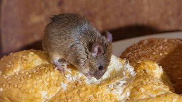 Getting Rid of Minnesota Mice in 2018? 14 things you need to know.
